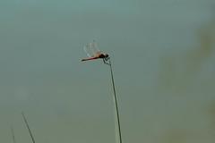 Libélula Roja (Sympetrum) (Garimba Rekords) Tags: libélula roja humedal salburua euskal herria euskadi vitoriagasteiz alava verano aire libre insecto animales sympetrum