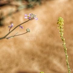 #صورة #ارشيفية #ربيع #روضة #الخفس #flower #photos #sonyalpha #sony #flower #nature #bokeh #colorful #photo #hdr #color #زهور #تصويري #رمل #sand #goodevning #مساء_الخير  #rose #roses # #good_evning #landscape #طبيعة #لاندسكيب #saudiarabia #ksa #saudi_arabi (photography AbdullahAlSaeed) Tags: roses flower color nature rose landscape photo sand colorful photos bokeh sony saudi arabia saudiarabia hdr ksa صورة تصويري طبيعة ربيع رمل sonyalpha زهور روضة الخفس لاندسكيب مساءالخير ارشيفية goodevning