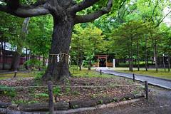 Sacred Tree (kaleydoscopic) Tags: tree nature nikon shrine religion holy sacred shinto d3300
