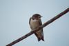Little Swallow (Felafel Squarcia) Tags: light sky bird nature thread animals fly wings little sweet swallow plume rondine
