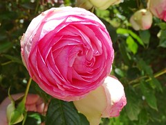 20150613i Rose Pierre de Ronsard (@bodil) Tags: pink flowers france rose fleurs normandie pierrederonsard