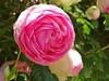 20150613i Rose Pierre de Ronsard (@bodil) Tags: pink flowers france rose fleurs normandie pierrederonsard