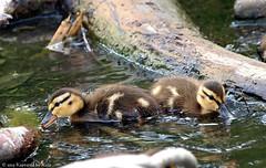 Learning To Forage (Kaptured by Kala) Tags: nature babies feeding ducks ducklings aquatic waterfowl mallards whiterocklake babyducks foraging sunsetbay dallastexas aquaticbird babymallards