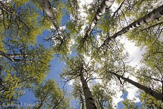 Carbon Creek Aspen Grove (Jeff Kreulen) Tags: blue sky cloud white green forest colorado grove perspective aspen gunnisonnationalforest