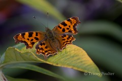 Comma (Poulter Photography) Tags: nature butterfly wings wildlife lincolnshire comma bigbutterflycount