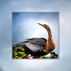 I've Been Framed! (cd32919) Tags: anhinga bird avian black texture background