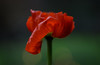 Last flower of 2016 (Funchye) Tags: poppy red blomst nikon d610 105mm