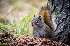 511-EM552410 (Teemu Paukamainen) Tags: canada banffalberta vermilionlakes fenlandloop squirrel olympusem5 olympus40150mmf28 mc14teleconverter