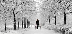 snow (Rex Montalban Photography) Tags: rexmontalbanphotography snow whippets dogs