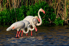 Greater Flamingo (My Pixelated life) Tags: greaterflamingo grootflamink marievale phoenicopterusroseus r96 birds