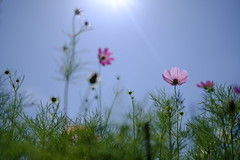 summer sky and cosmos/夏空にコスモス (kurupa_m) Tags: cosmos pink flower plant xt10 hokkaido summer コスモス 北海道 夏 ピンク