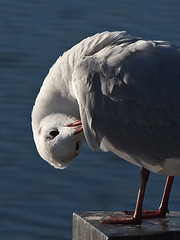 Körperpflege tut so gut - Body Care makes feel good (neusiedler) Tags: möwe seagull