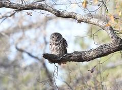 Barred Owl (Christopher Lindsey) Tags: libertyroad berea jefferson birds birding winter marioncounty texas marion county