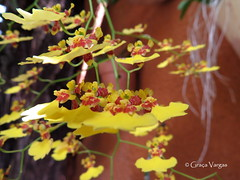 o r c h i d (✿ Graça Vargas ✿) Tags: orchid flower orquidea graçavargas ©2017graçavargasallrightsreserved yellow oncydiumvaricosum chuvadeouro oncidio 15208300117