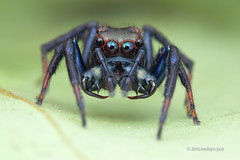 IMG_9875 Wide-jawed jumping spider (Parabathippus sp.) (melvynyeo) Tags: jumping spider widejawed parabathippus sp singapore macro