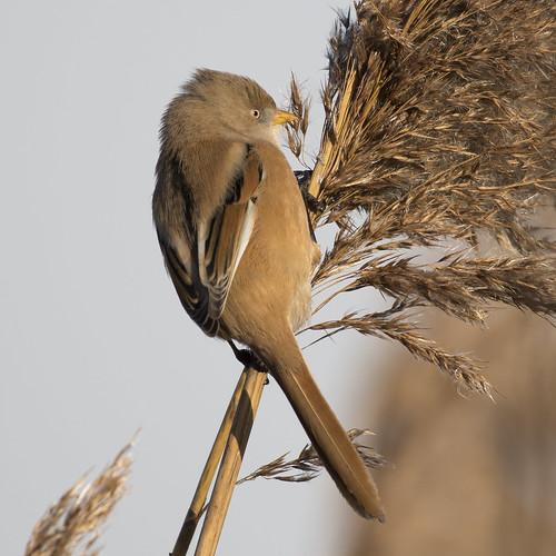 (041) Bird - Bearded Tit (Reedling) - Oulton Marshes