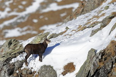 Camosci1 (Lunghefocali.snc) Tags: camoscio rupicaprarupicapra dolomiti valdifiemme trentino altamontagna biancoenero wildlife nature