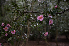 rainy camellia forest (Danielle_M_Bedics) Tags: nature descansogardens garden tree plant flower green grass forest enchantedforest woods magic magickalforest themagicoftrees rose rosesinthegarden rosegarden rain wet berries berry flowers plants trees leaves foliage brown rosemary blue pink white orange red camellia cameillaforest camelliatree bud flowerbud leaf leafmagic brownleaf branch branches bramble twig trunk treemagic treespirits treetrunk oak oaktree oakforest oakwoodland raining morning morninginthegarden morninglight rainymorning enchantedplaces mountain mountains sky winter solstice
