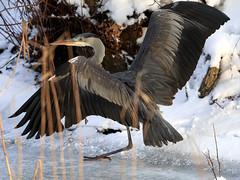 Kung Fu! (Magnus_Lindberg) Tags: kungfu shaolin cranestyle heron greayheron