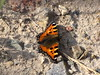 Kleiner Fuchs - Small tortoiseshell - Aglais urticae (elisabeth.mcghee) Tags: kleiner fuchs aglaisurticae aglais urticae butterfly schmetterling small tortoiseshell
