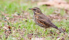 Redwing (Turdus iliacus) (George Wilkinson) Tags: redwing turdusiliacus turdidae songbird canon 7d 400mm reading whiteknights campus berkshire south east uk england