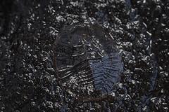 water penny beetle larva (myriorama) Tags: waterpenny beetle larva coleoptera polyphaga elateriformia byrrhoidea psephenidae creek rock