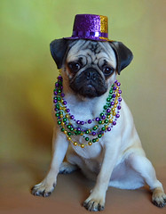 Mardi Gras Boo (DaPuglet) Tags: pug pugs dog dogs pet pets mardigras fattuesday parade neworleans animal animals costume hat beads cute gold purple celebration party puppy puppies holiday