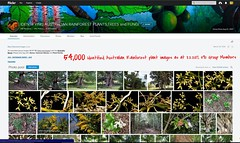 54,000 Images, 8th February 2017 - IDENTIFYING AUSTRALIAN RAINFOREST PLANTS,TREES and FUNGI Flickr Group (Black Diamond Images) Tags: arfmilestone 54000images 54000 822017 54000thimage idrainforestgroup idrainforestgroupmilestones australianrainforestplants rainforestplant rainforestplants arfp australianplants identifyingaustralianrainforestplantstreesandfungigroup rainforest rainforests australianrainforest australianrainforests screenshot 15thoctober2016 rainforestflora australianrainforestflora rainforestidentification australianflora australiannativeplants