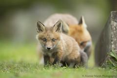 Fox Cub (Alastair Marsh Photography) Tags: graveyard grass animal animals fur mammal wildlife fox gravestone mammals foxes britishwildlife redfox foxcub smallmammal smallmammals babymammal britishmammal foxvixen britishmammals femalefox britishanimals britishanimal redfoxvixen