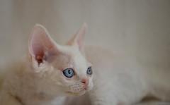 More of Annie (peter_hasselbom) Tags: portrait cats cat kitten head blueeyes naturallight kittens calico devonrex torty 105mm 9weeksold drxg092133