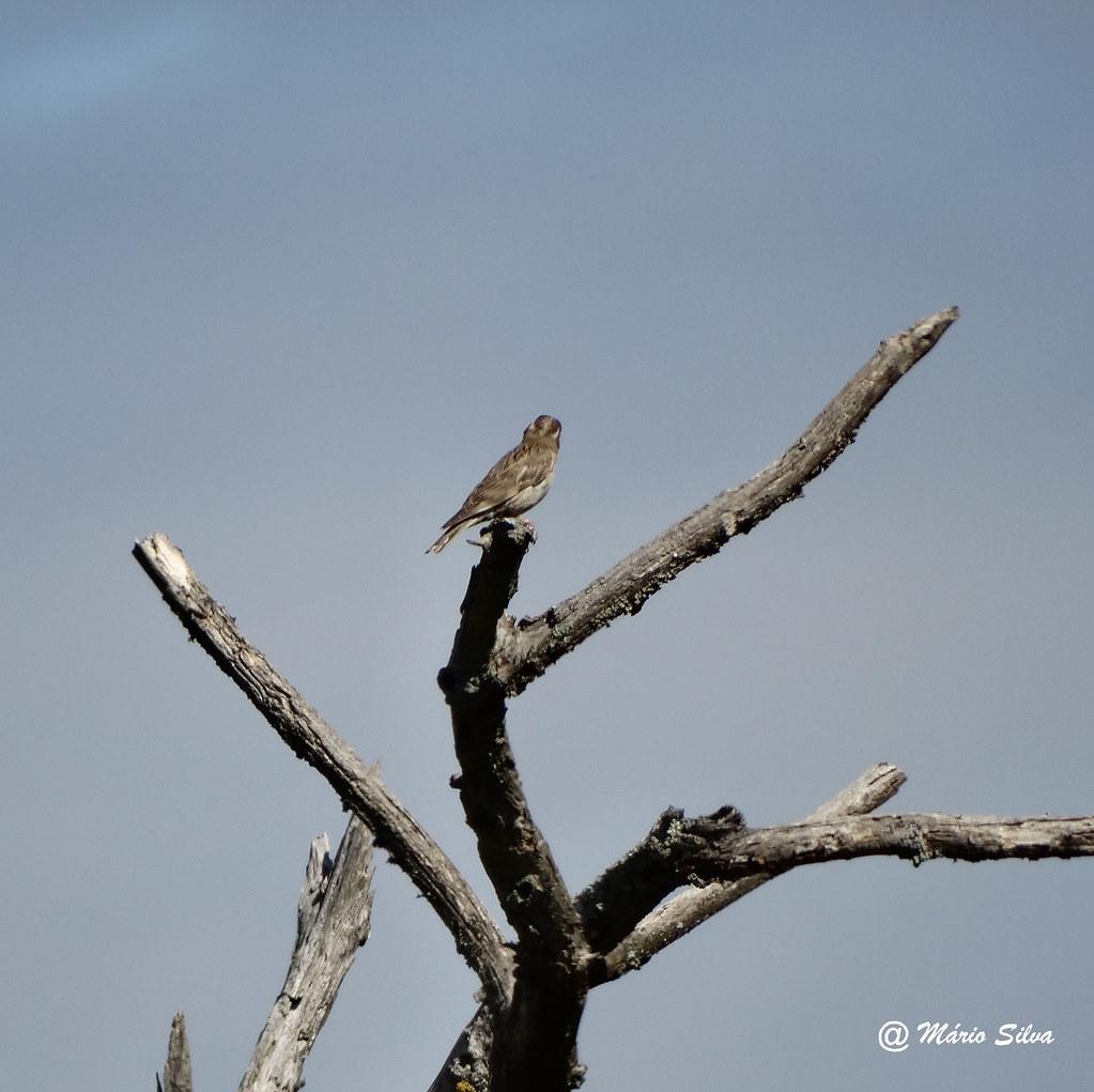 Águas Frias (Chaves) - ... o pássaro nos ramos secos ...