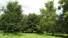 I just liked the foliage in this (Sutton Park) (zoekay) Tags: park trees nature birmingham suttoncoldfield suttonpark outsidespaces