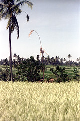 25-442 (ndpa / s. lundeen, archivist) Tags: trees bali plants color tree film field grass rural 35mm indonesia flora rice flag traditional nick terraces pole 25 southpacific fields coconuttree ricepaddies 1970s 1972 indonesian ricepaddy bamboopole balinese dewolf oceania pacificislands terraced penjor nickdewolf photographbynickdewolf terracedfarmland reel25