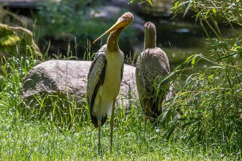 Yellow-billed stork / Nimmersatt
