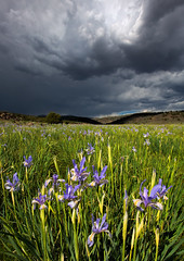 Wild Blue Irises under Stormy Skies (Dave Toussaint (www.photographersnature.com)) Tags: california ca travel blue sky usa storm flower nature northerncalifornia canon landscape photo interestingness google interesting photographer cloudy picture july clarity explore adobe getty adjust 2015 denoise topazlabs wildblueirises photographersnaturecom davetoussaint 5dmarkiii photoshopcc dailyrayofhope2015 norfcal