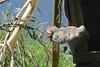Rotgesichtsmakak im Highland Wildlife Park (Ulli J.) Tags: uk greatbritain zoo scotland alba unitedkingdom highland schottland kincraig schotland kingussie japanesemacaque écosse royaumeuni skotland grandebretagne highlandwildlifepark japansemakaak storbritannien japanmakak rotgesichtsmakak schneeaffe vereinigteskönigreich macaquejaponais grootbrittannië verenigdkoninkrijk grosbritannien japansksneabe