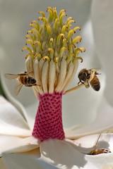 Honeybee Ball (coqrico) Tags: flower tree insect hawaii blossom bee rico stamen bloom magnolia nectar grandiflora pollen honeybee stalk filament receptacle apis mellifera anthers pollinate pollinating sepals tepals leffanta gyneocium andreocium carrls