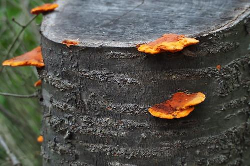 Pycnoporus coccineus, a member of Bracket Fungi (Family Polyporaceae)