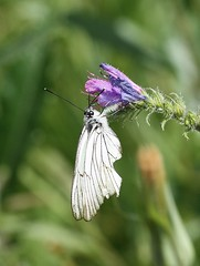 Black-veined White (Aporia crataegi) (iainrmacaulay) Tags: white france butterfly aporia crataegi blackveined