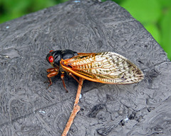IMG_0067-copy (lbj.birds) Tags: nature cicada insect wildlife kansas flinthills periodicalcicada