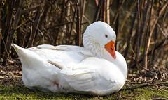 Weier Vogel - Gnse 3 (thorvonasgard) Tags: bird nature natur free gans vgel fluss weiss freiheit wasservogel ruhe federn schmelz nikon5100 prims 55300mm gefidert