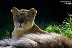 She watches... (janet_grimaphotography) Tags: africa winter sun photography zoo nikon watching lion majestic lioness hunt toronga