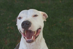 Ha Ha Ha (Cruzin Canines Photography) Tags: portrait dog pet pets white cute green dogs girl smile grass animal animals closeup female laughing canon funny adorable canine pit pitbull domestic americanpitbullterrier domesticanimal pitbullterrier canonrebelt2i