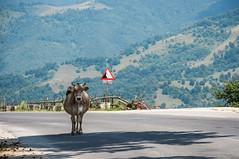 Cow on da road (pietkagab) Tags: road trip travel mountains animal landscape outdoors photography cow europe pentax roadtrip scene hills adventure romania k5 mountainroad pentaxk5ii pietkagab piotrgaborek drynda