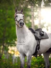 Finorio (Hestefotograf.com) Tags: sunset summer horse lake water norway caballo cheval riding arabian arabianhorse cavallo pferd whitehorse blackhorse equine equus paard naturalframe lusitano equiphotographer hestefotograf