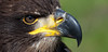 Young Bald Eagle (pe_ha45) Tags: greifvogel raptor haliaeetusleucocephalus weiskopfseeadler baldeagle