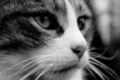 The lookout (Zèè) Tags: cat cats katze kot kitty gato gatto closeup close up spats tabby tigre black bw blanc blackandwhite white noir noirblanc normandy normandie whiskers middecembre catseyes eyes