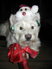 12/12A ~ Merry Christmas from Riley! (ellenc995) Tags: riley westie christmas portrait westhighlandwhiteterrier thesunshinegroup coth rubyphotographer 12monthsfordogs16 fantasticnature alittlebeauty abigfave coth5 supershot challengeclub sunrays5 citrit akob pet100 thesuperbmasterpiece 100commentgroup pet500