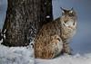 Lynx Lynx (clé manuel) Tags: wildlife animal lynx bobcat luchs cat wild nature snow winter eurasian eurasischer sony tamron alpha waldhaus mehlmeisel natur fichtelgebirge