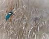 Eisvogel 034 (bertheeb) Tags: eisvogel vogel nikon d750